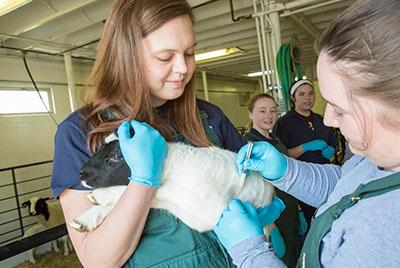 [vet students vaccinte a lamb]