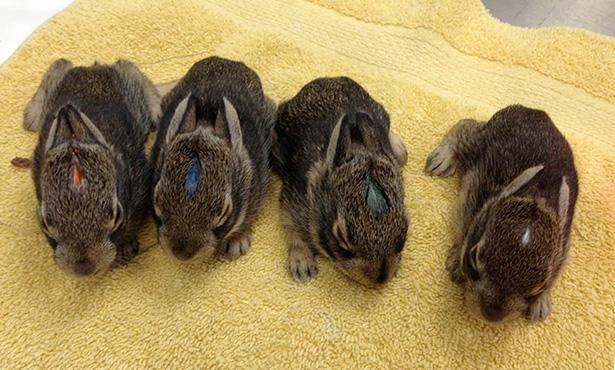 [four baby bunnies]