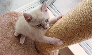 [cat with scratching post]