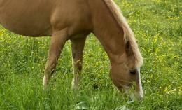 [horse grazing]
