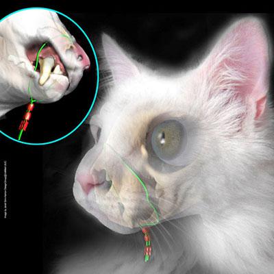 cat dental illustration