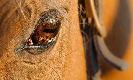 [closeup photo of a horse's eye]