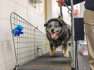 [dog walks on treadmill]