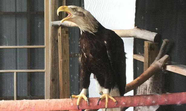 resident eagle