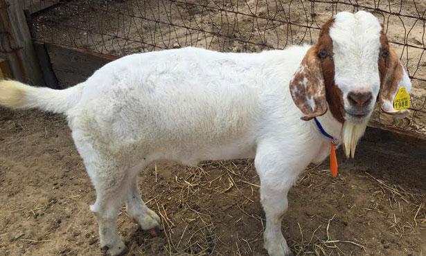 Oz the goat