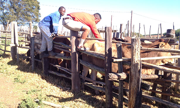 Bheki Ngwenya treats cattle in the field for ringworm