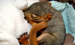 news-cc-foxsquirrel