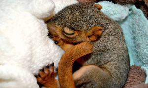 news-cc-foxsquirrel