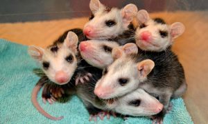 [critter cam - baby opossums]