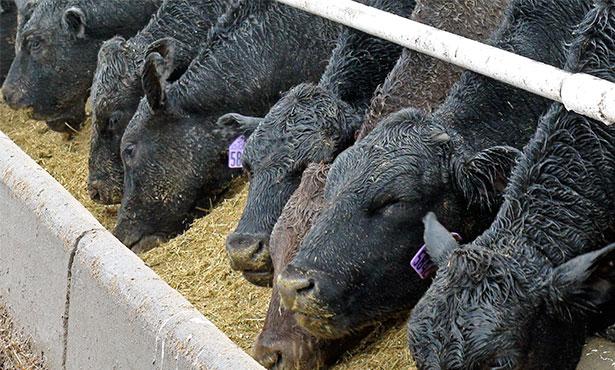 [EVP Beef - cattle in feedlot]