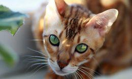 [feline hyperthyroidism - cat]