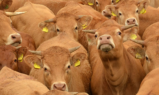 [moving cattle]