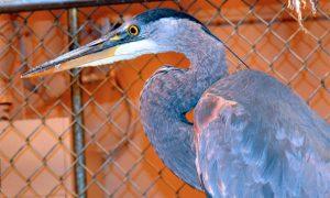 [critter cam - great blue heron]