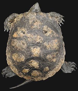 turtle fungus