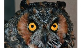 [critter cam - long-eared owl]