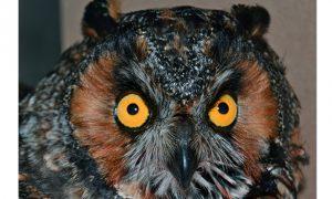 [critter cam - long-eared owl]