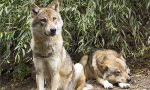 [pet column dominance - wolves]