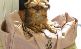 [dog on a purse - xylitol]