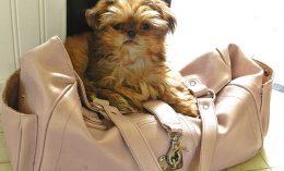 [dog on a purse - xylitol]