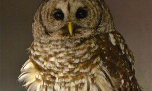[critter cam - barred owl]