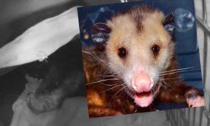 [critter cam - opossum]