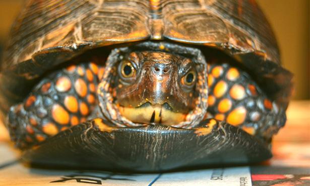 [critter cam - eastern box turtle]