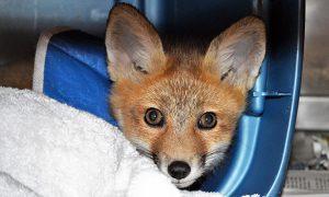 [critter cam - red fox kit]