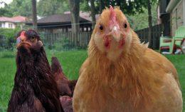 [chickens]