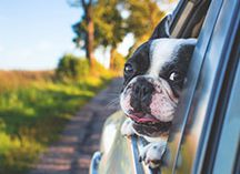 doggy car ride