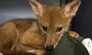 [critter cam - coyote pup]