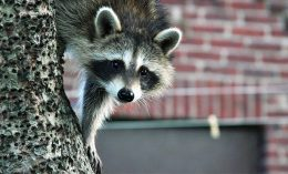 [raccoon photo for pet column on coonhound paralysis]