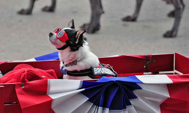 [dog in Fourth of July parade]