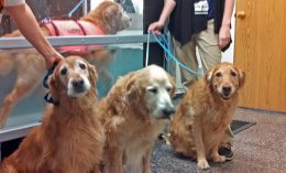 [Golden Wednesdays at Illinois veterinary rehab]