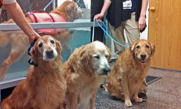 [Golden Wednesdays at Illinois veterinary rehab]