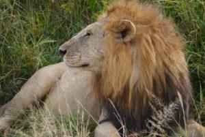 [lion]