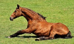 [a horse gets up from rolling in a field]