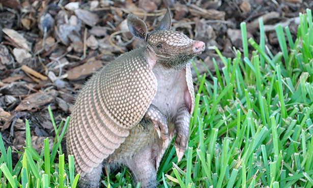 [nine-banded armadillo]