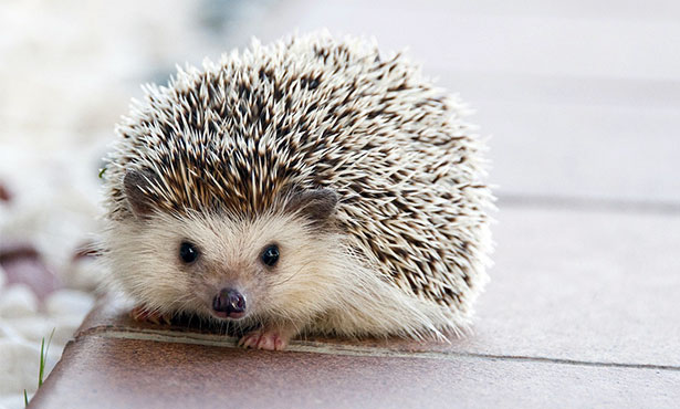 hedgehog pets cute but challenging veterinary medicine at illinois