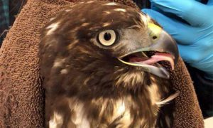 [Red-tailed Hawk on Critter Cam]