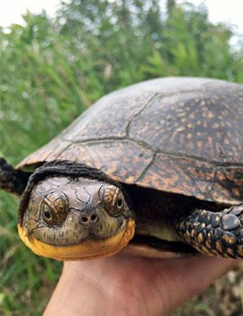 [smiling Blanding's turtle]