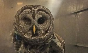 [barred owl]