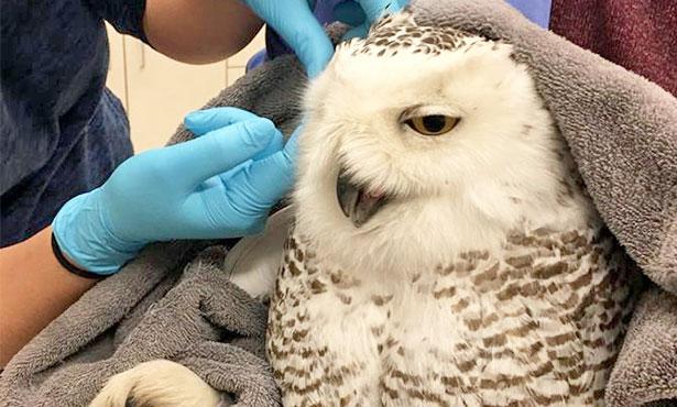 [snowy owl]