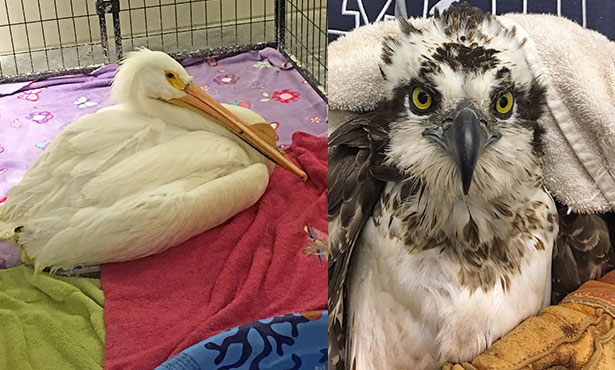 [pelican and osprey at wildlife medical clinic]
