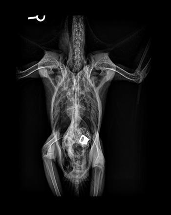 [x-ray of bird that swallowed zipper pull]
