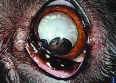 iris cysts in dog