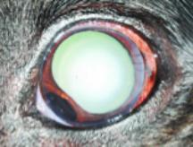 iris melanocytoma in dog