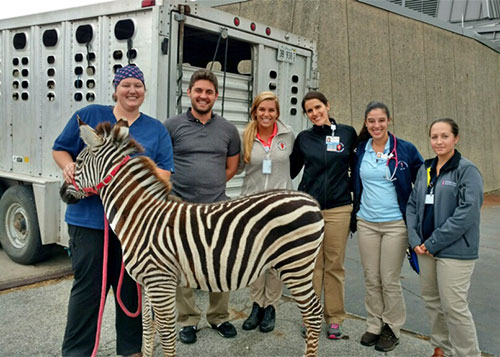 [Dr. Lindey Rothrock cared for a zebra while a fourth-year veterinary student at Illinois]