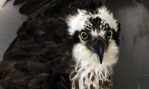 [critter cam - osprey]