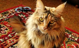 [maine coon cat heart disease]