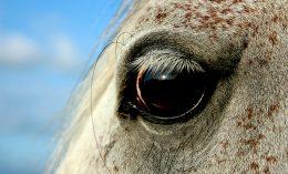 [corneal ulcers - horses]
